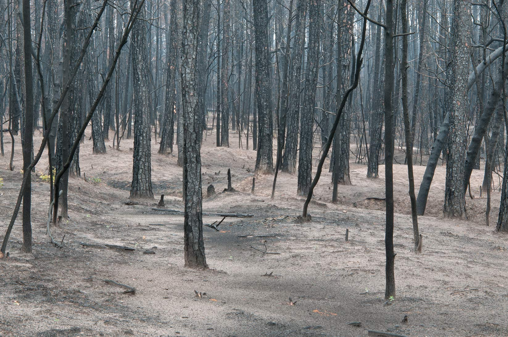 Burnt forest in Bastrop State Park. Bastrop, Texas