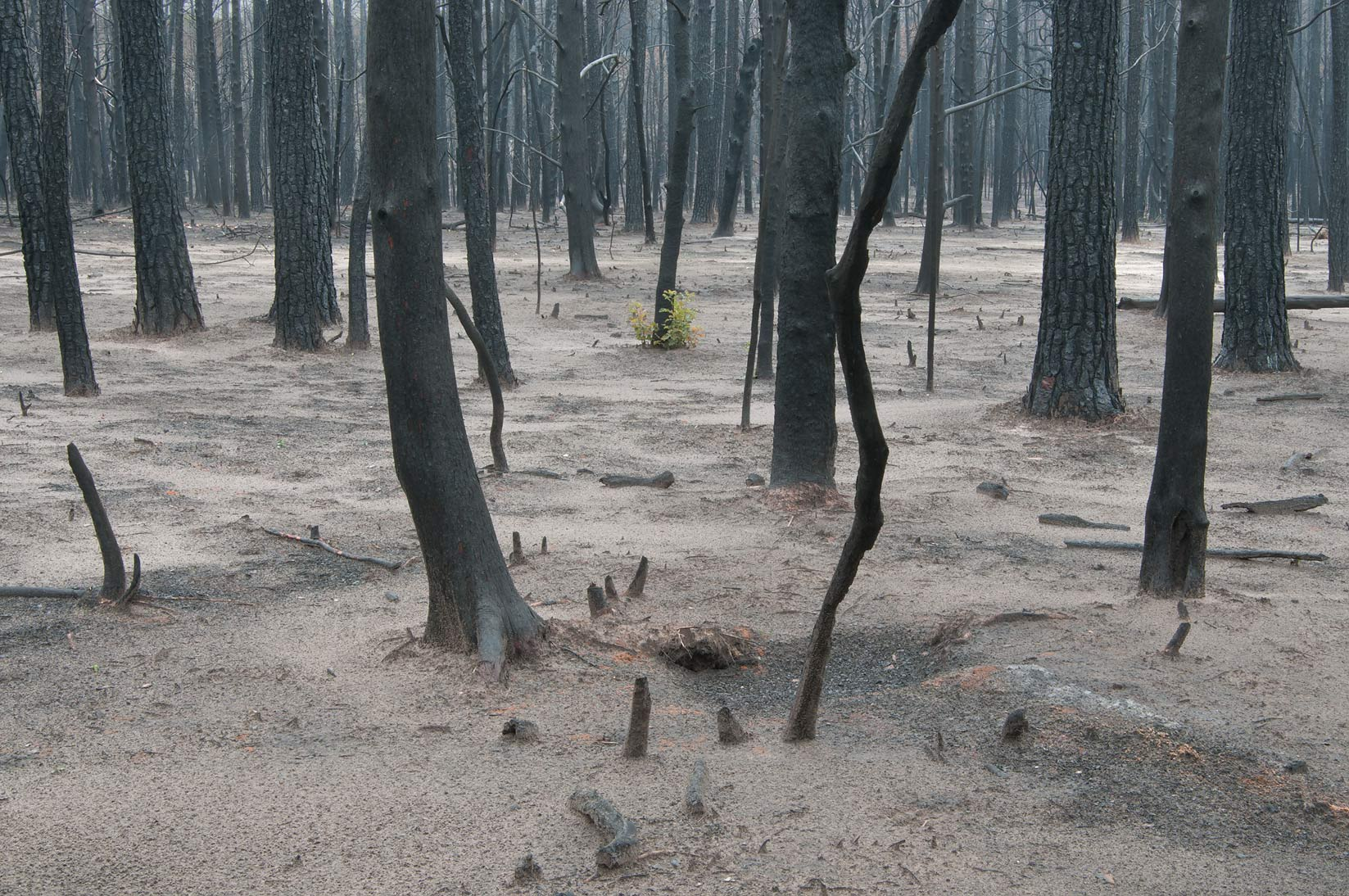 Burnt moonscape in Bastrop State Park. Bastrop, Texas