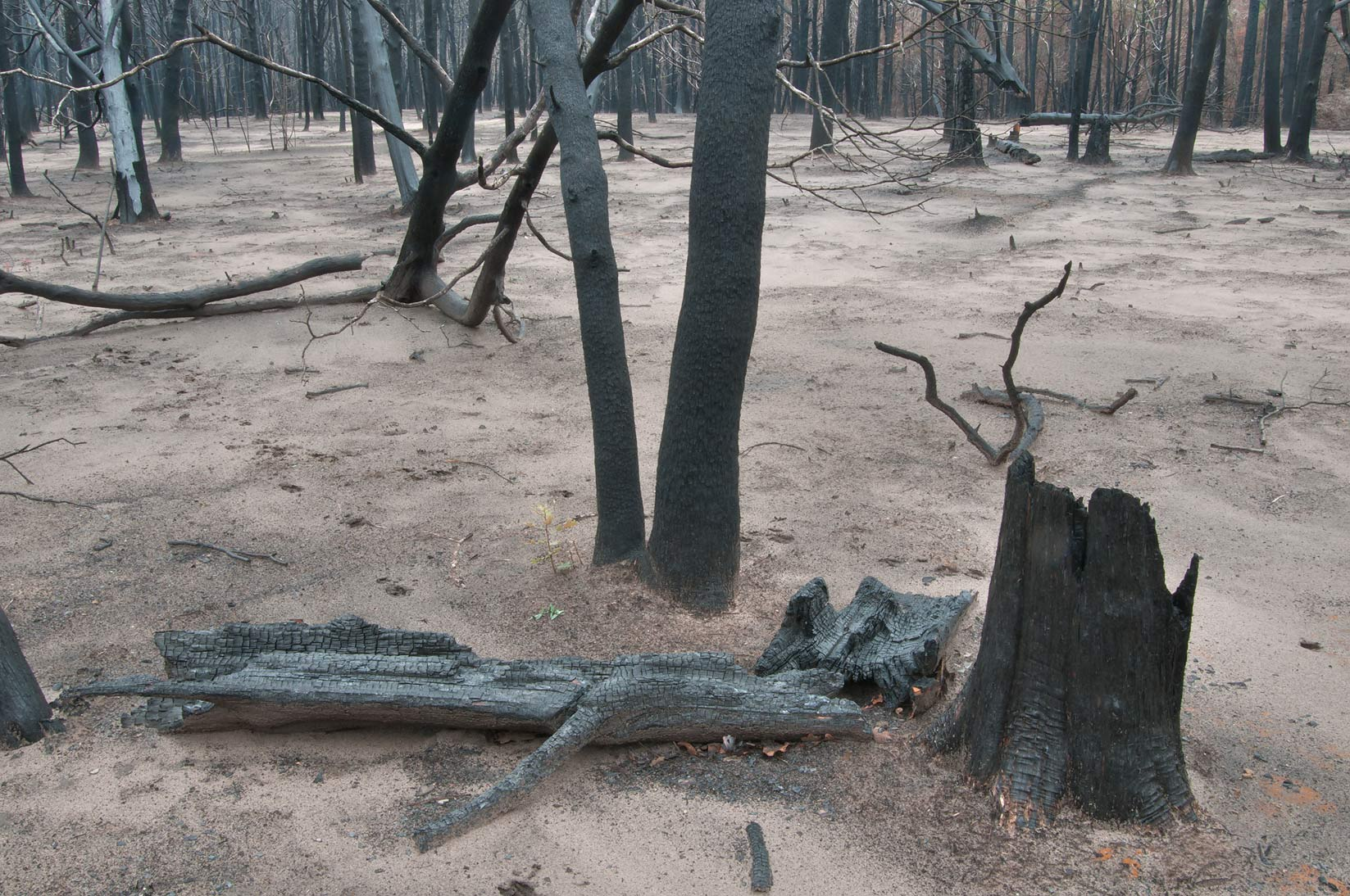 Charred remains of trees in Bastrop State Park. Bastrop, Texas