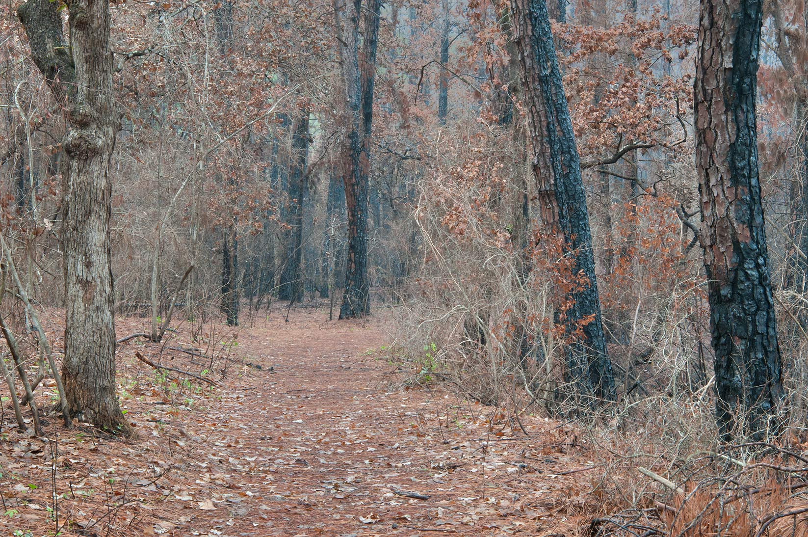 Relatively intact section of Scenic Overlook Trail in Bastrop State Park. Bastrop, Texas