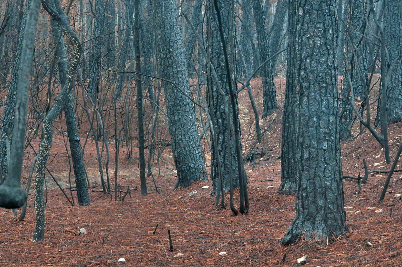 Burnt pine forest near Scenic Overlook Trail in Bastrop State Park. Bastrop, Texas