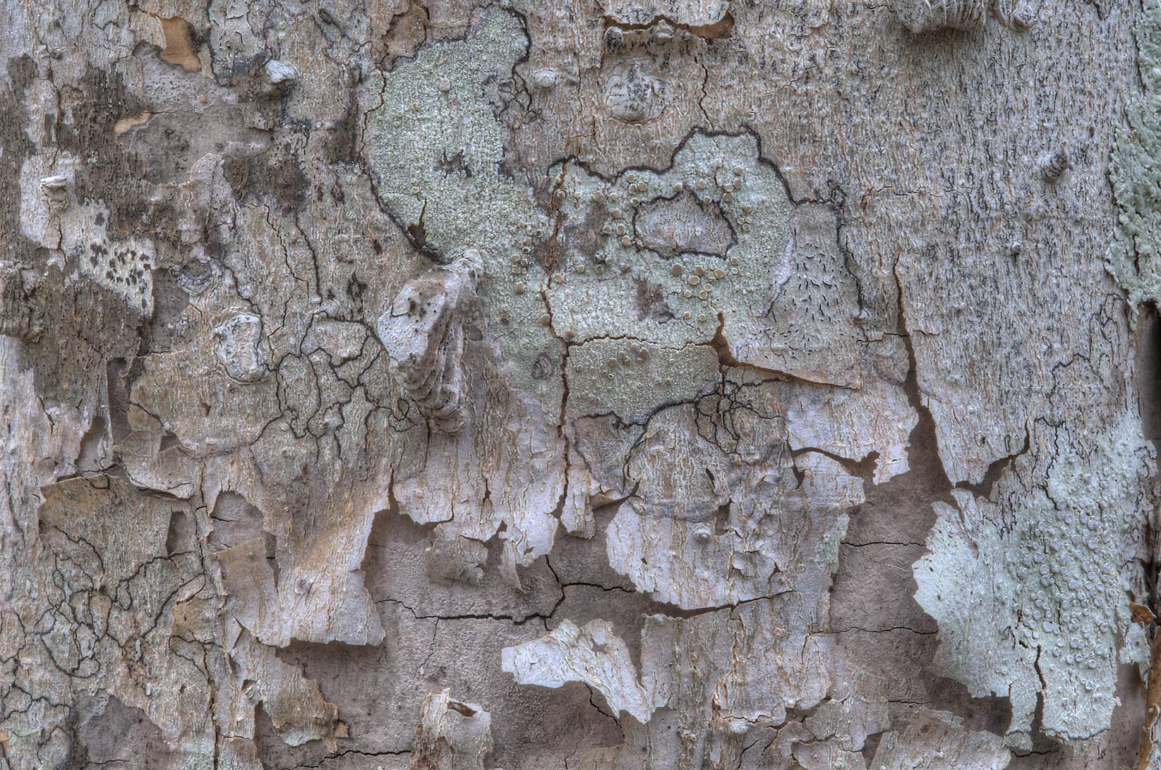 Peeling bark of dry hackberry in Washington-on...State Historic Site. Washington, Texas