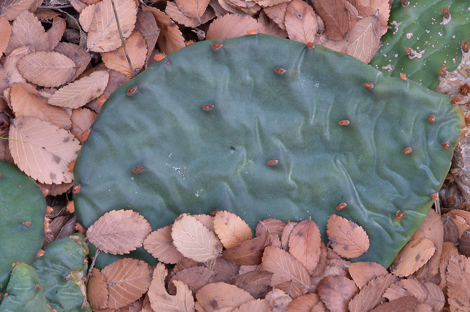Pad of prickly pears in a forest in Washington-on...State Historic Site. Washington, Texas