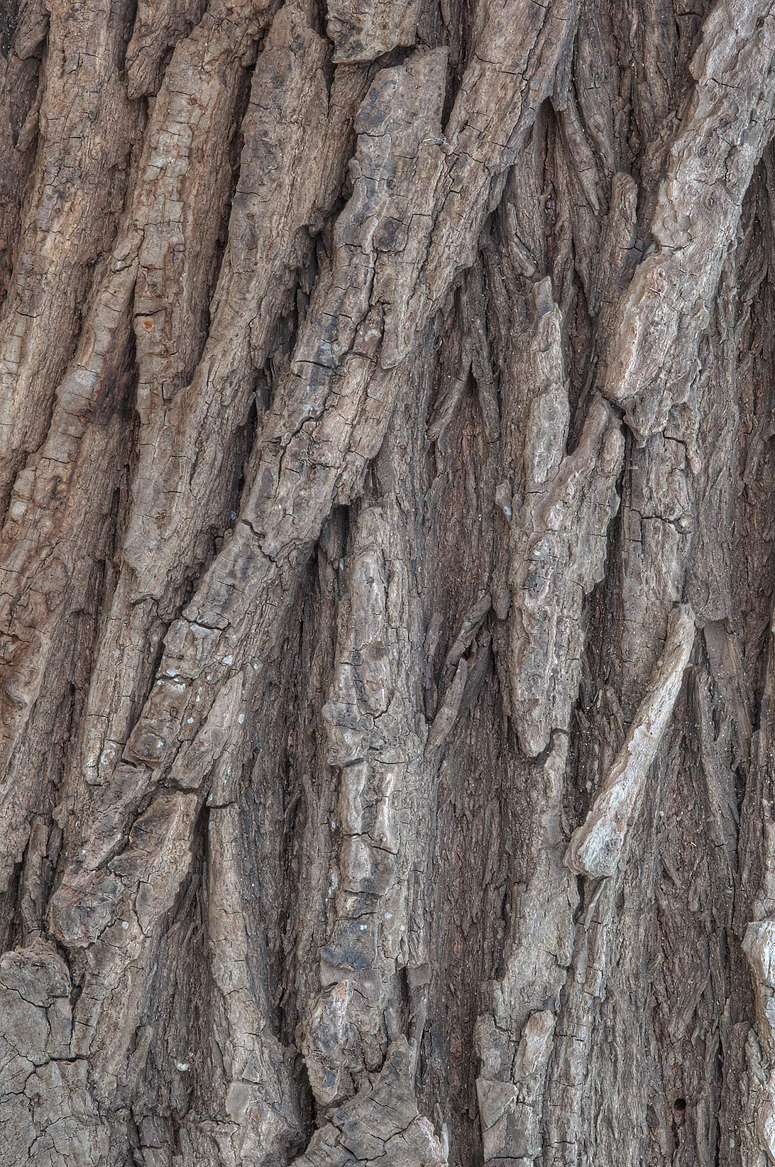 Bark of black willow in Washington-on-the-Brazos State Historic Site. Washington, Texas