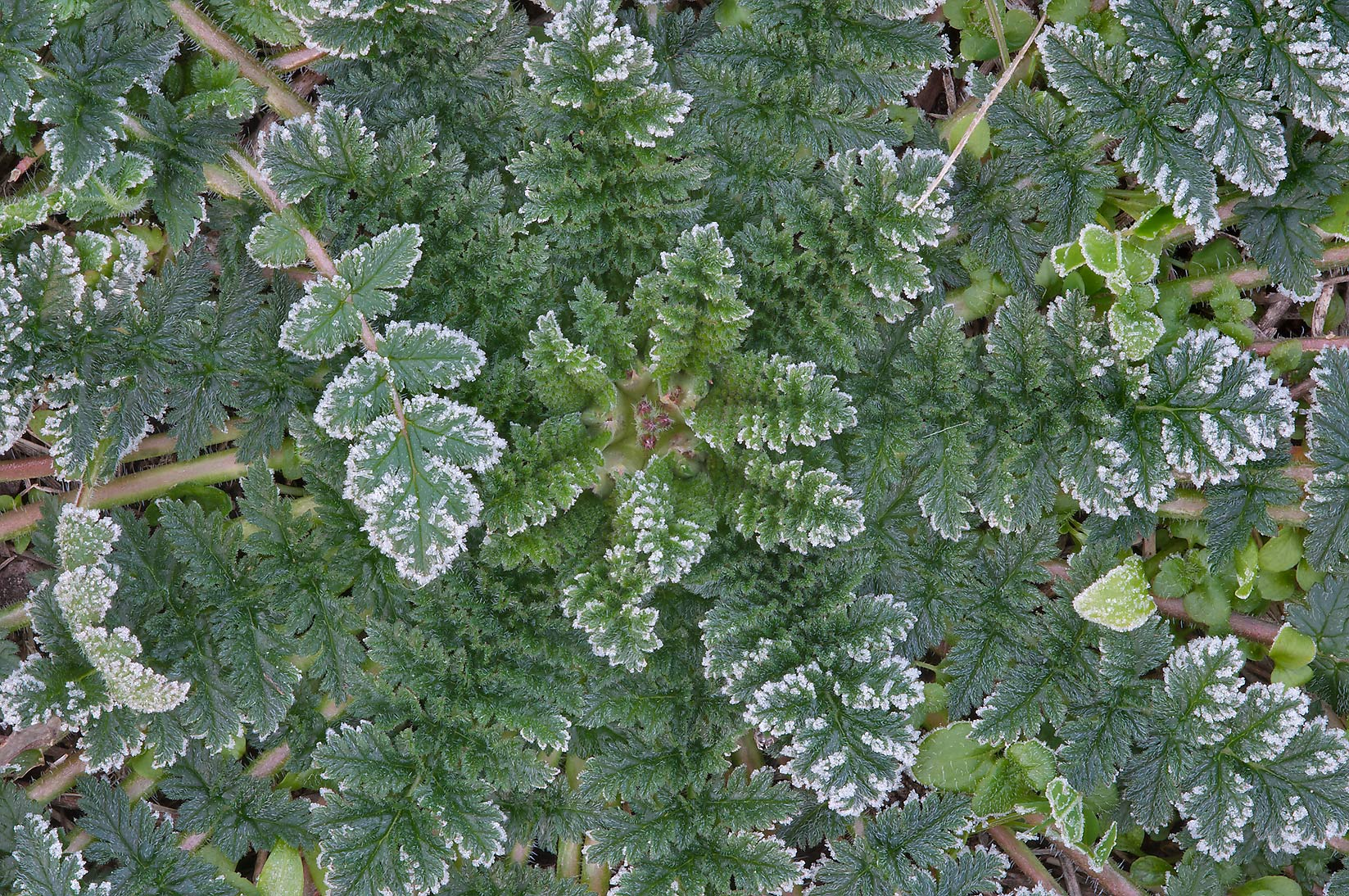 Frost on a rosette of filaree (stork's bill...A&M University. College Station, Texas