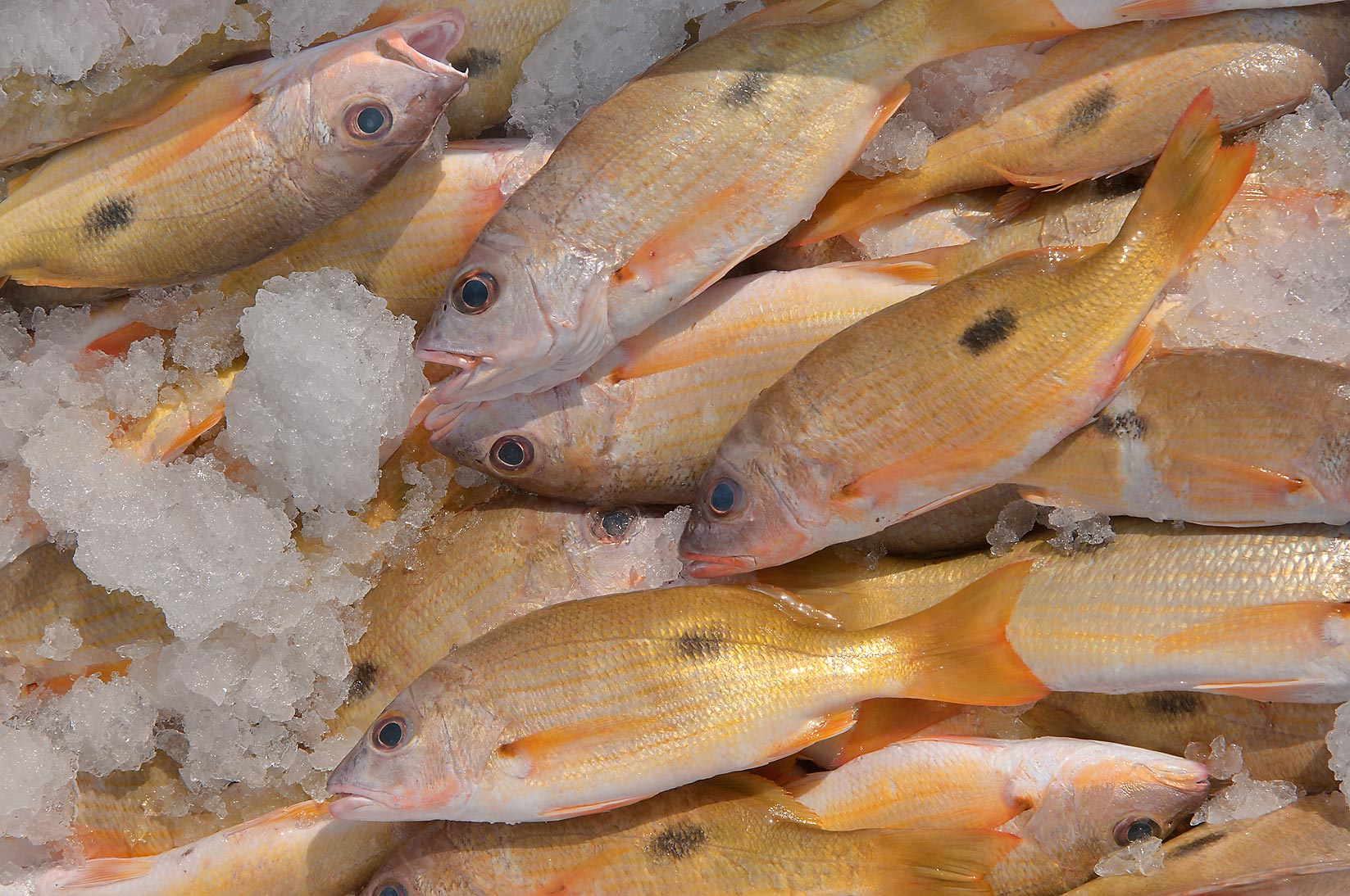 Yellow fish Blackspot snapper (Naisara, Lutjanus...in fish market. Al Wakrah, Qatar