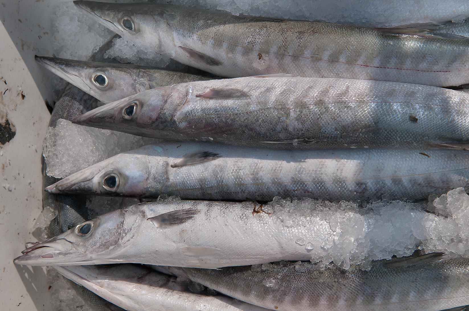 Barracuda fish market search in pictures for Barracuda fish for sale