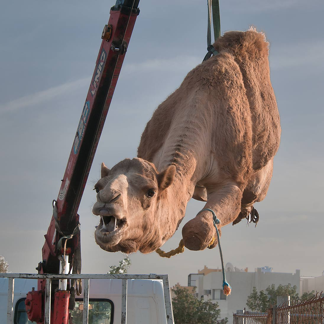 Lifting an animal by crane at Camel Market (Souq). Doha, Qatar