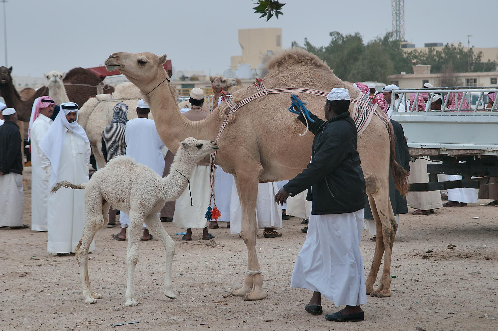 Camel with a white calf in Camel Market (Souq), racing section. Doha, Qatar
