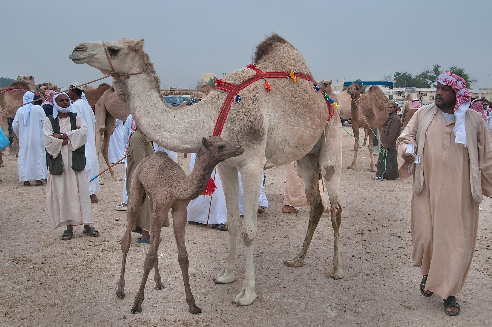 Camel with its calf in Camel Market (Souq), racing section. Doha, Qatar