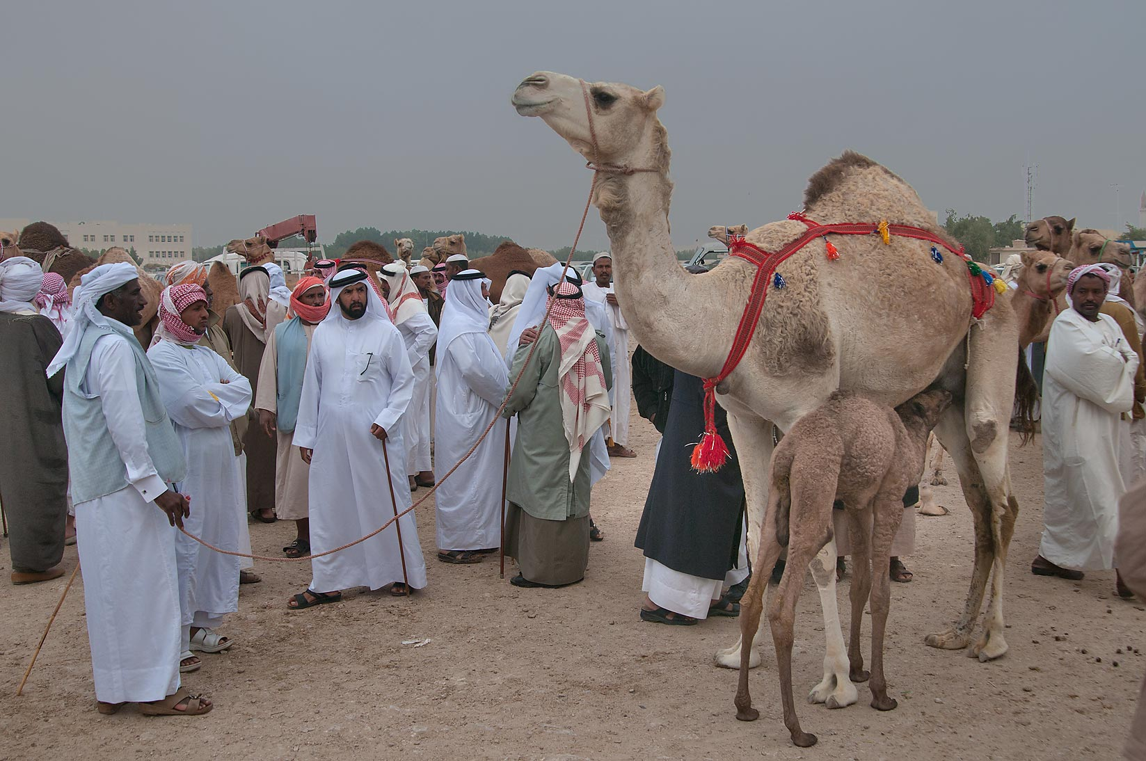 People examining a camel in Camel Market (Souq), racing section. Doha, Qatar