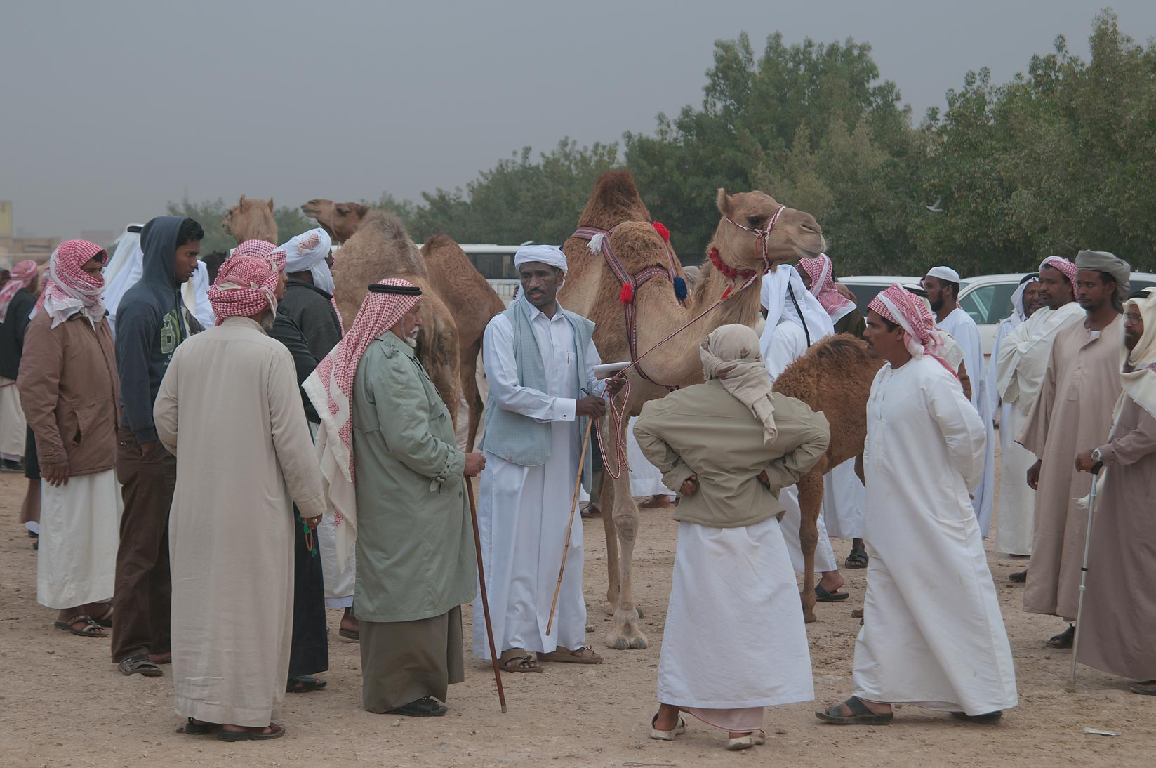 Showing a camel in Camel Market (Souq), racing section. Doha, Qatar