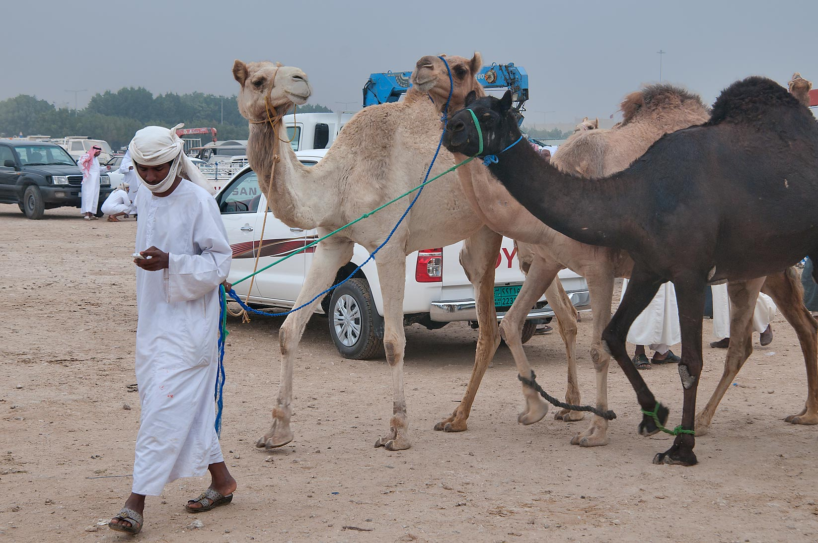 Brown and black camels in Camel Market (Souq), racing section. Doha, Qatar