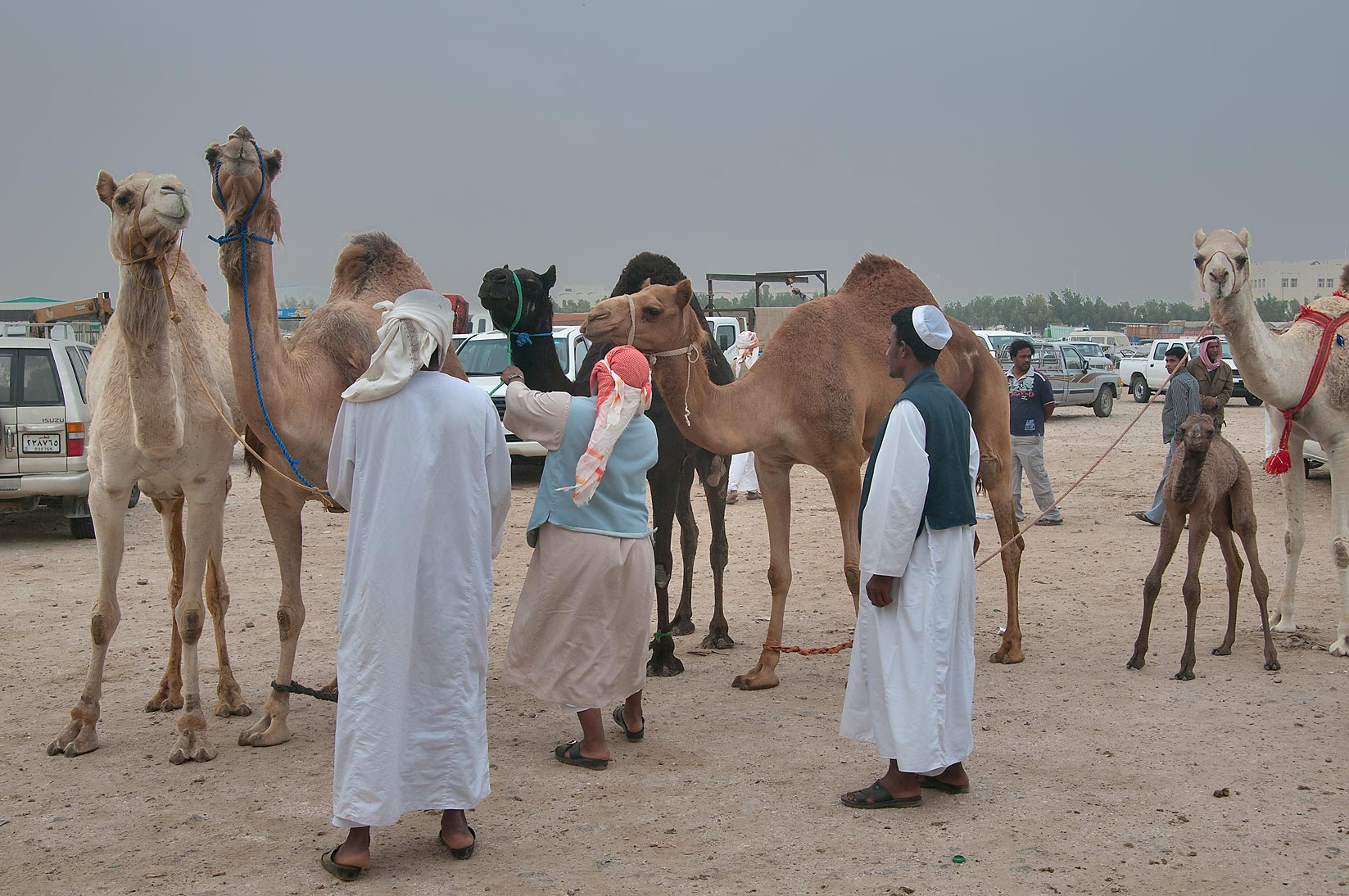 Group of camels in Camel Market (Souq), racing section. Doha, Qatar