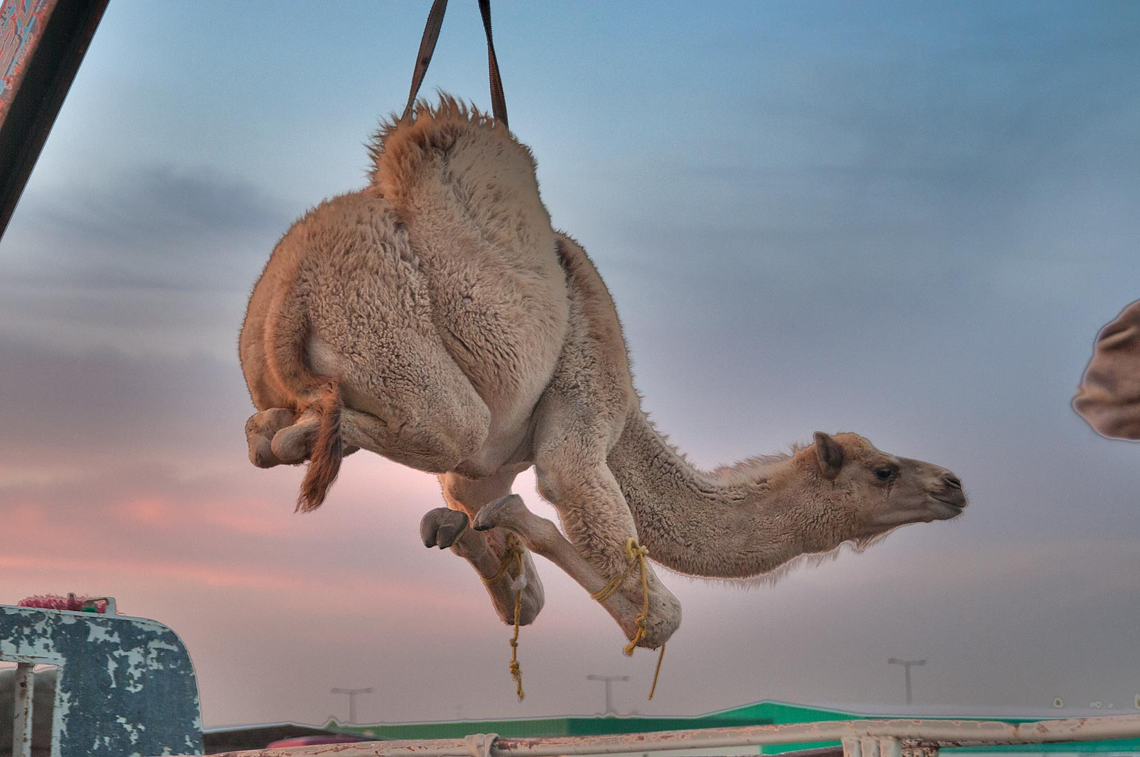 Lifting a camel from a truck by crane in Camel Market (Souq). Doha, Qatar