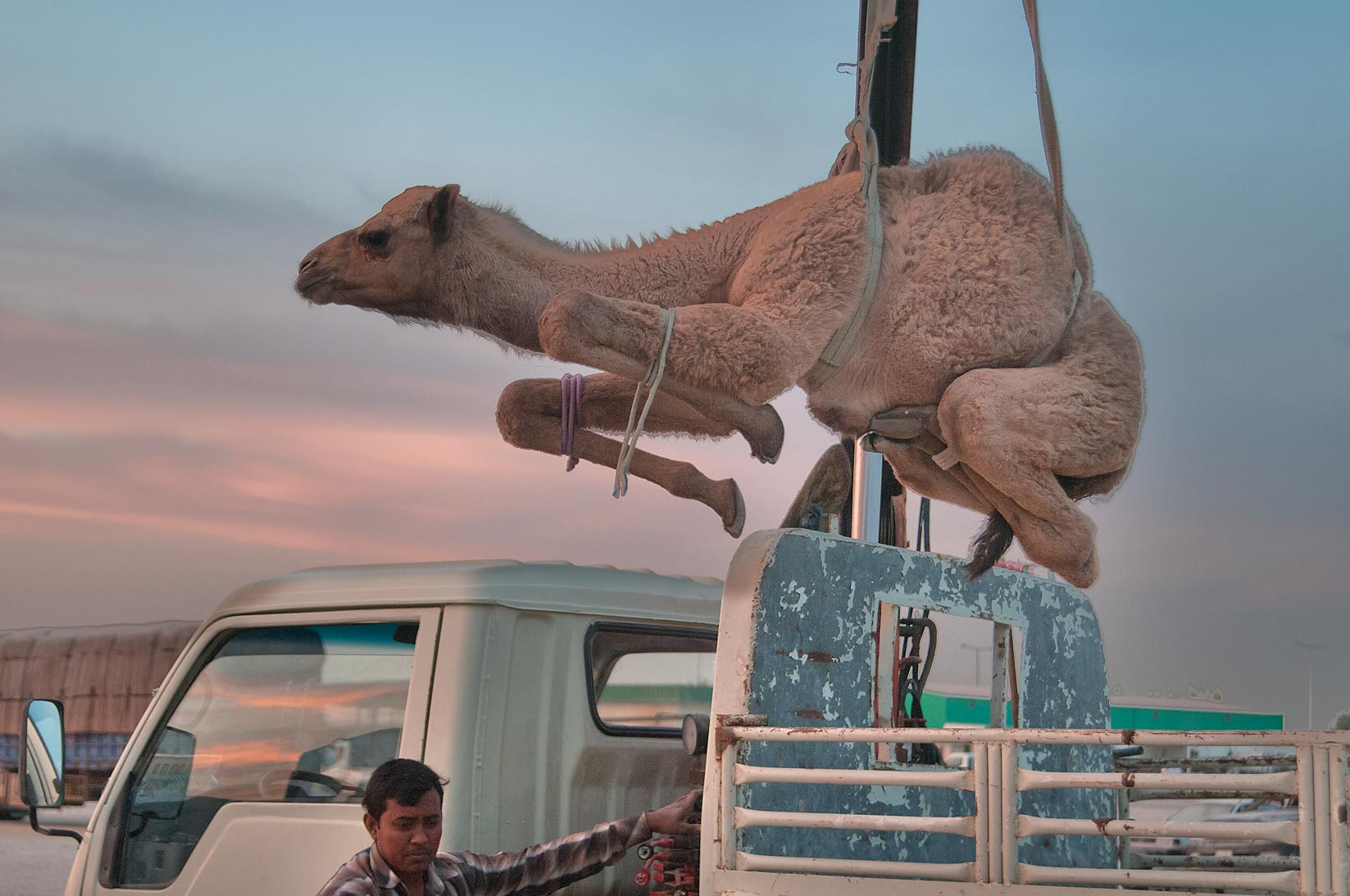 Worker lifting a camel by a hydraulic crane in Camel Market (Souq). Doha, Qatar