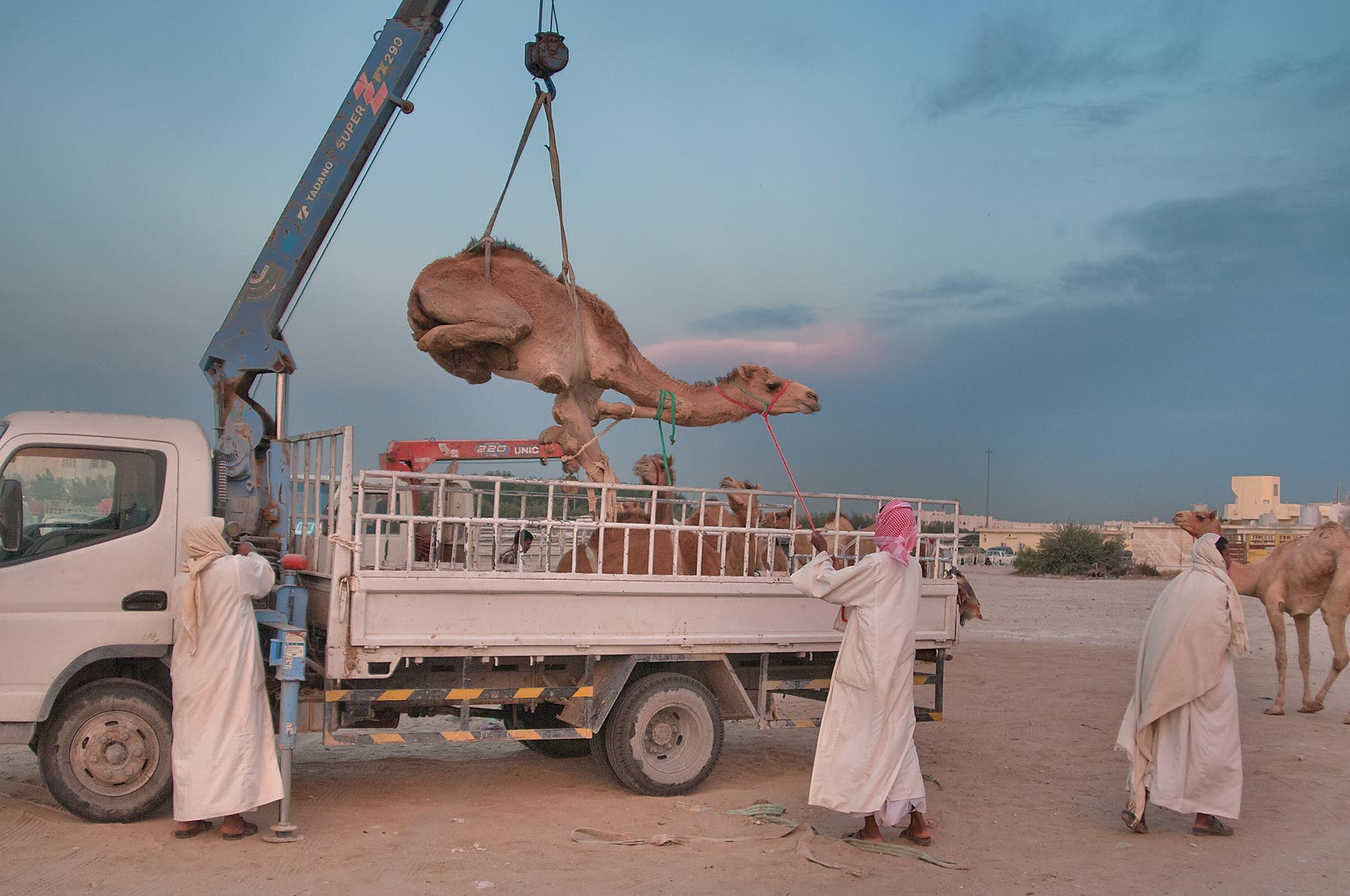 Unloading a camel from a truck by crane in Camel...Souq), racing section. Doha, Qatar