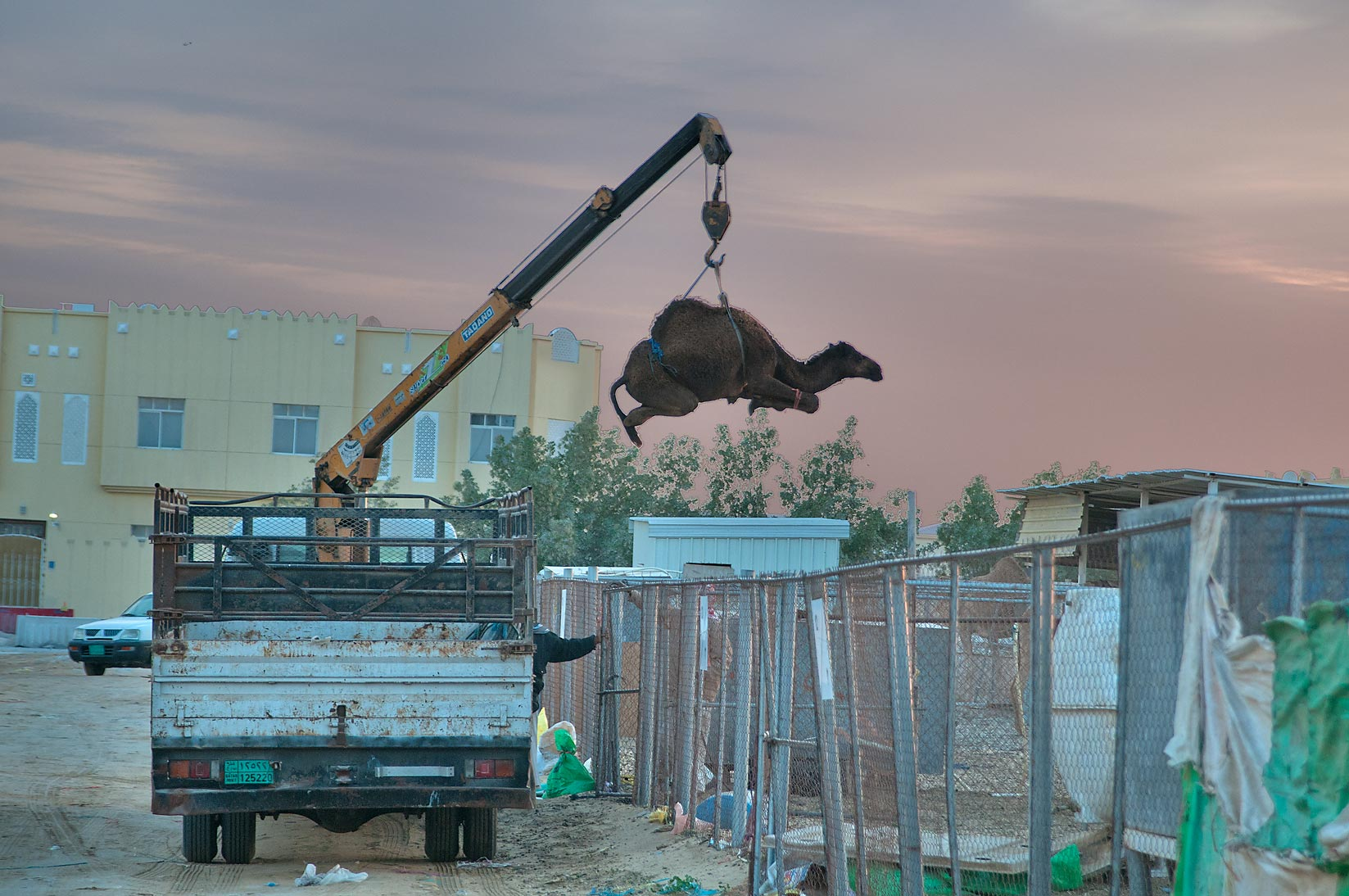Lifting a camel by crane in Camel Market (Souq) at sunrise. Doha, Qatar