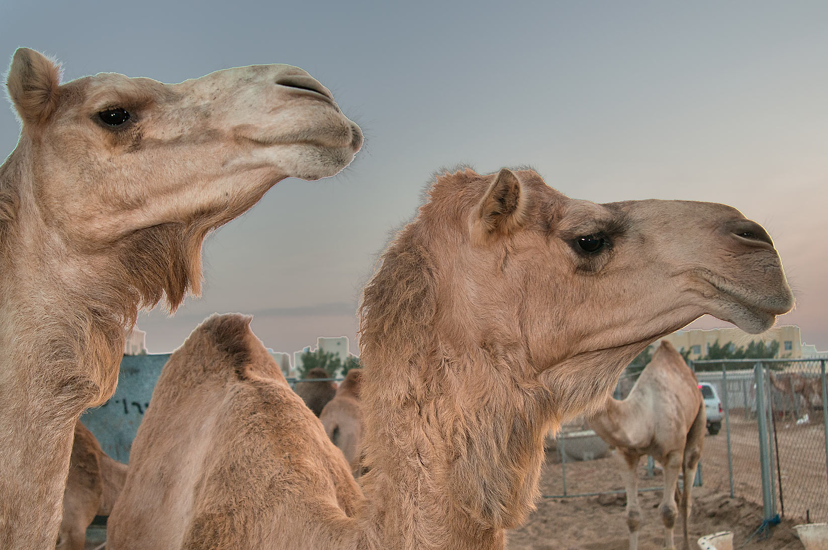 Pair of camels in Camel Market (Souq). Doha, Qatar