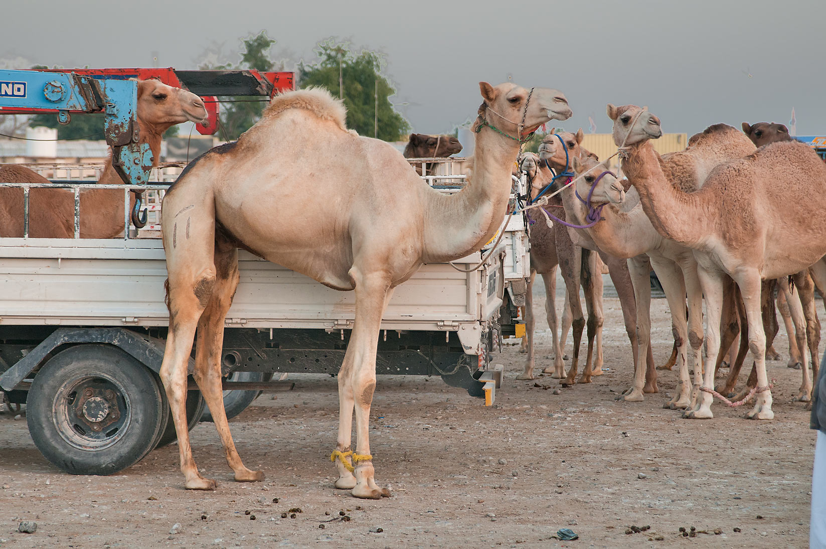 Shaved camel (with smooth skin) in Camel Market (Souq). Doha, Qatar