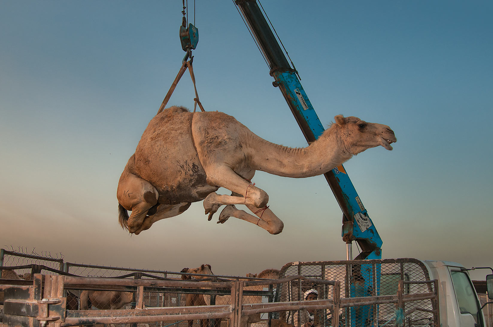 Camel plucked by a hydraulic crane into the air in Camel Market (Souq). Doha, Qatar