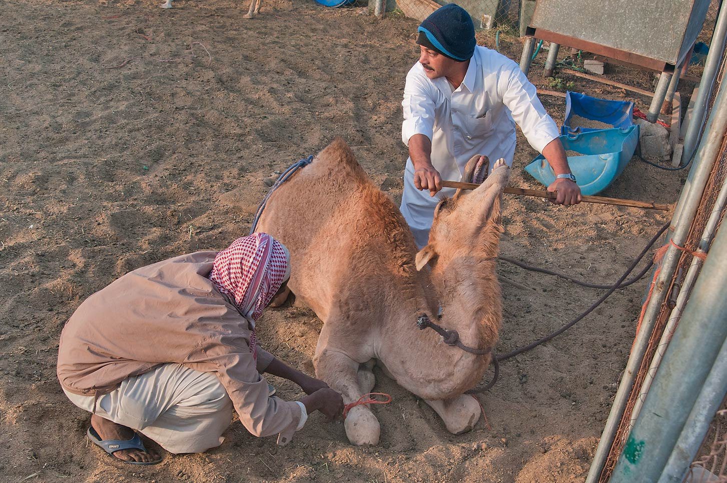 Strapping a camel and preparing it for crane-lift in Camel Market (Souq). Doha, Qatar