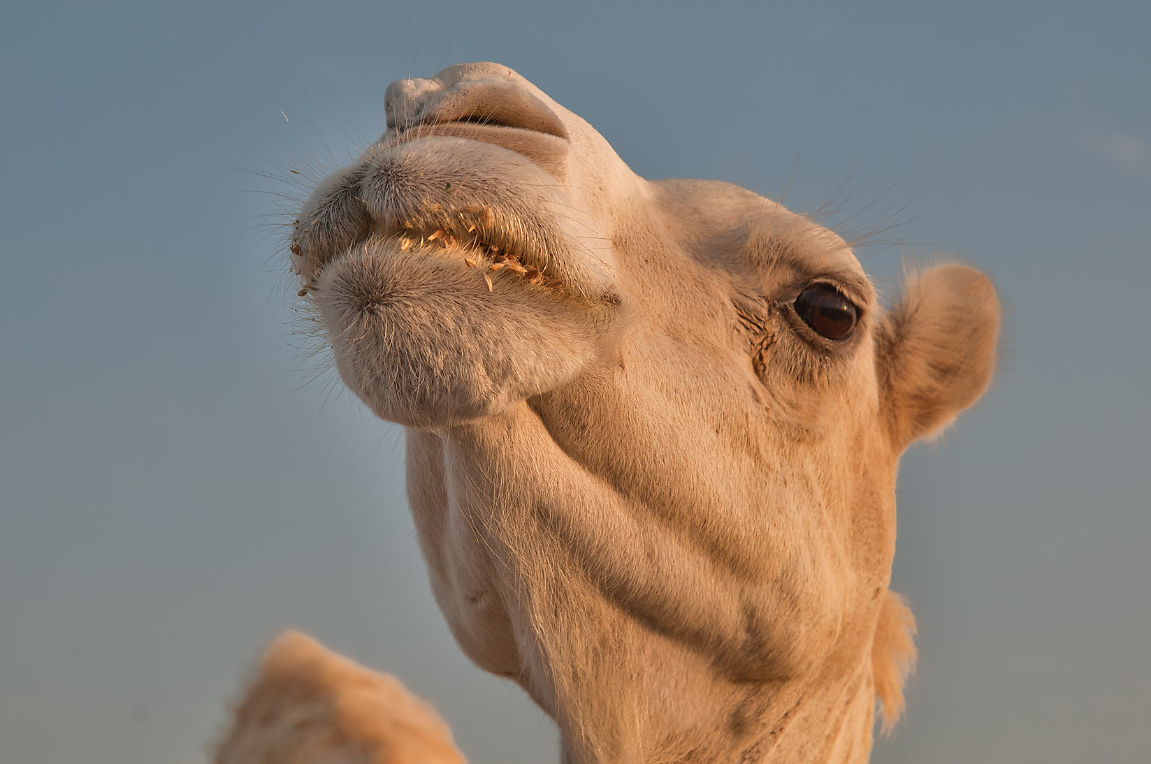 White camel at sunrise in Camel Market (Souq). Doha, Qatar