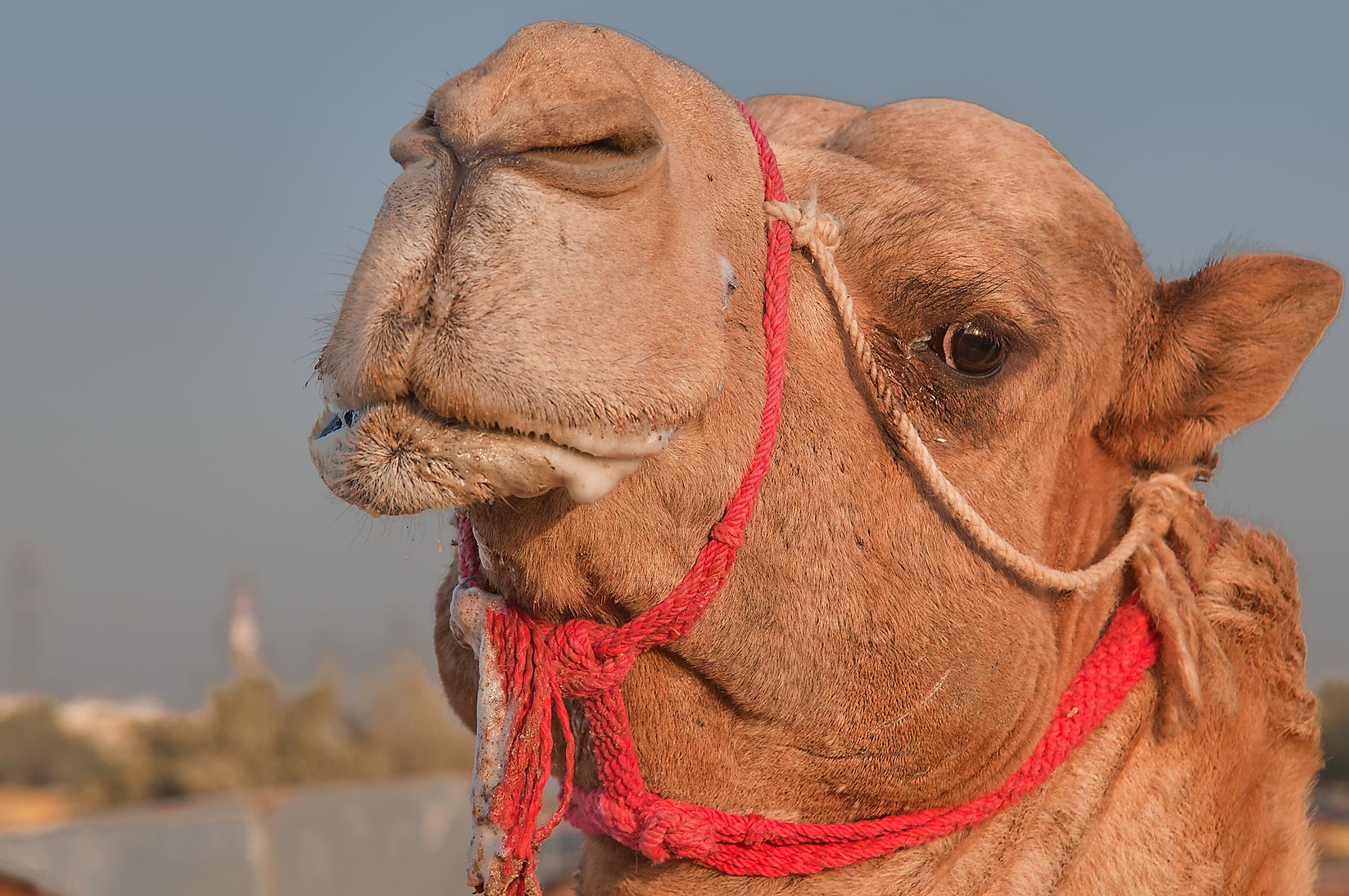Bulldog faced camel at sunrise in Camel Market (Souq). Doha, Qatar