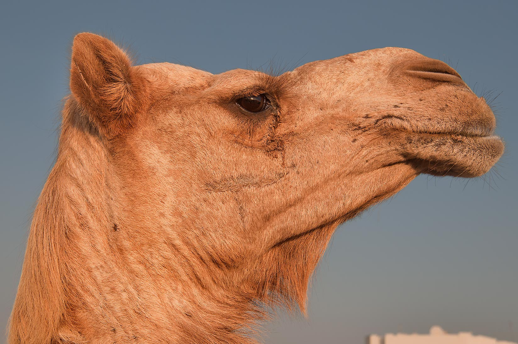 Camel's head at sunrise in Camel Market (Souq). Doha, Qatar