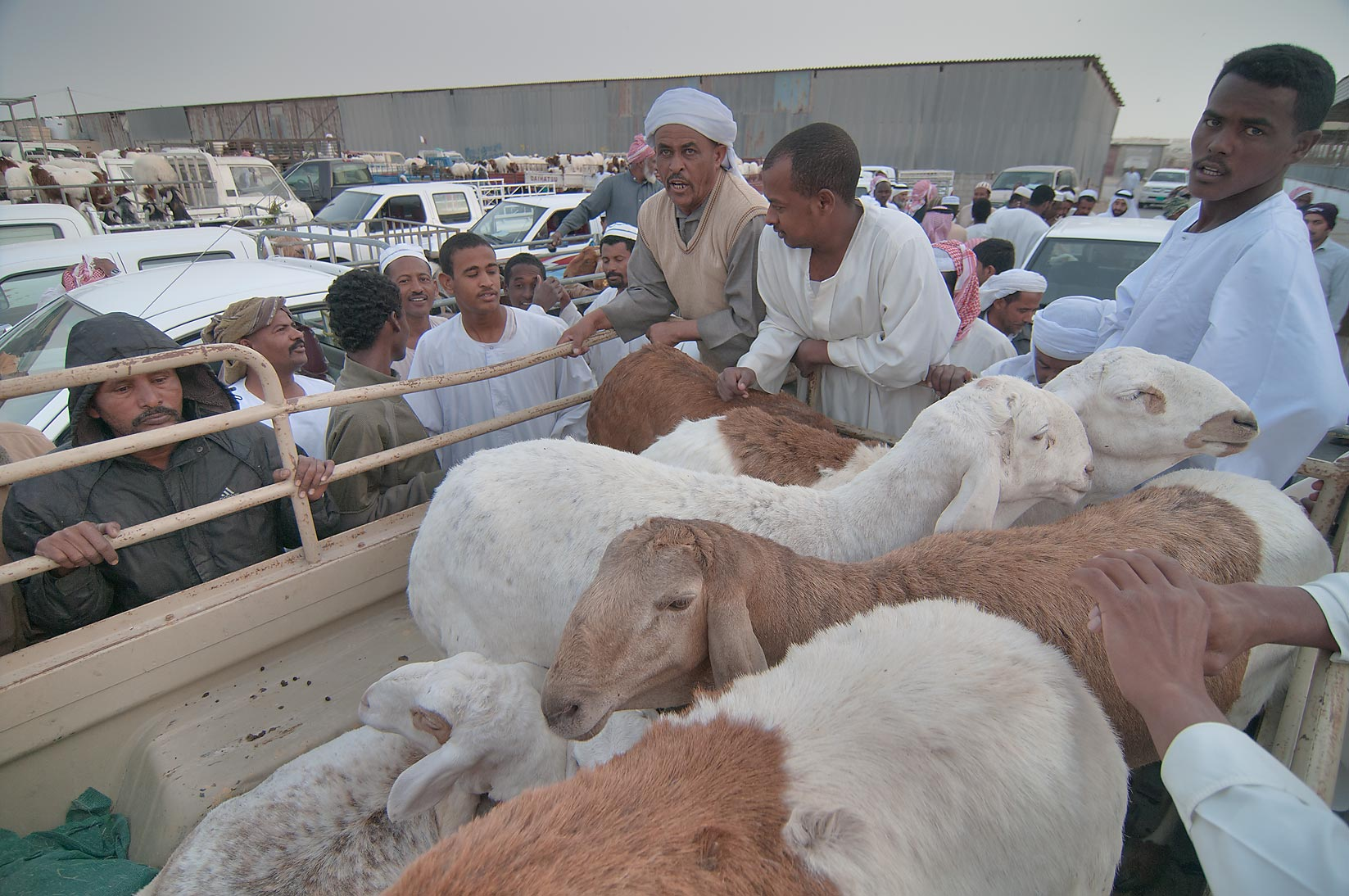 Goat auction at livestock market. Doha, Qatar
