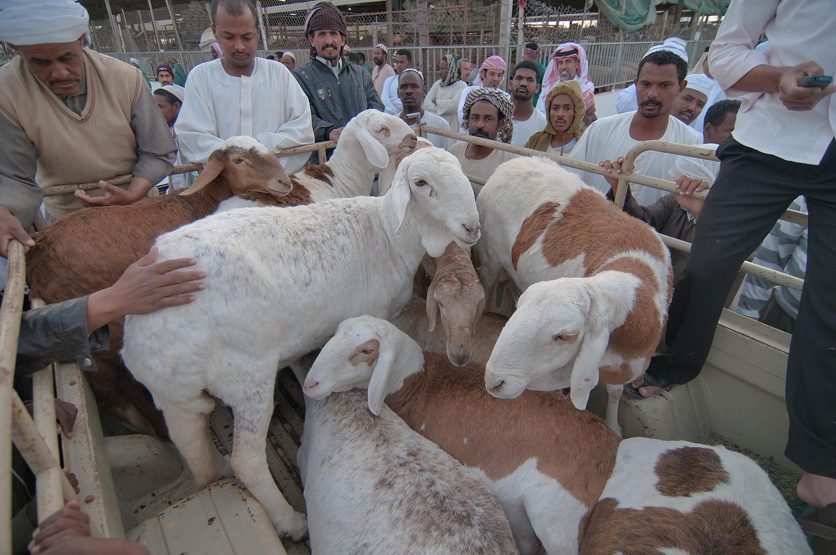Goat auction at animal market. Doha, Qatar