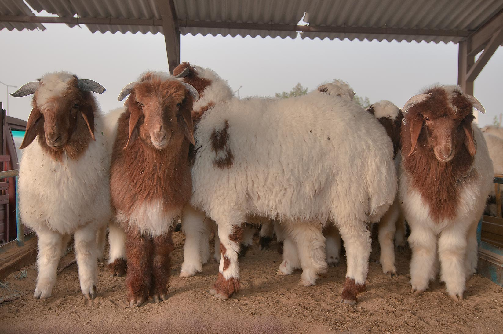 Group of sheep in animal market. Doha, Qatar