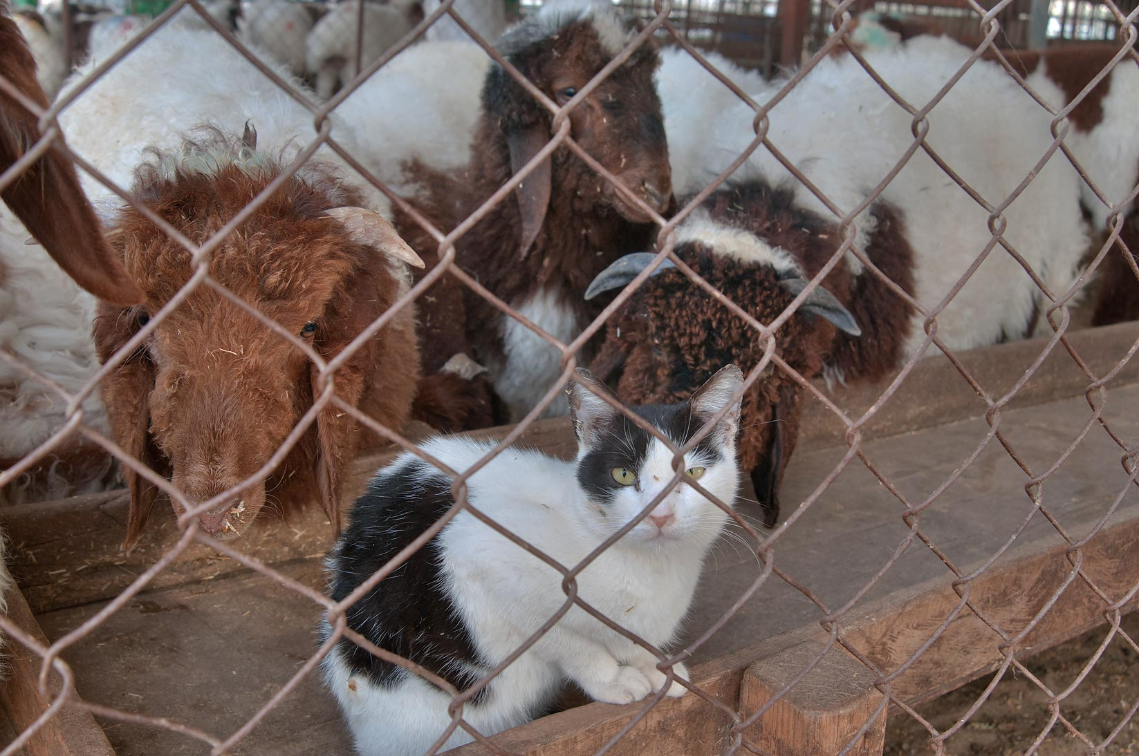 Cat living in sheep pen in animal market. Doha, Qatar