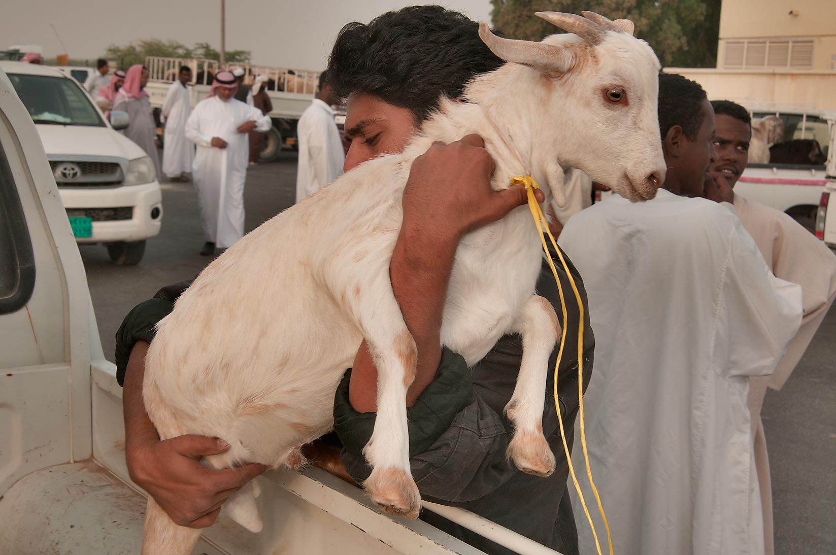 Taking a docile goat from a truck in Wholesale Animal Market. Doha, Qatar