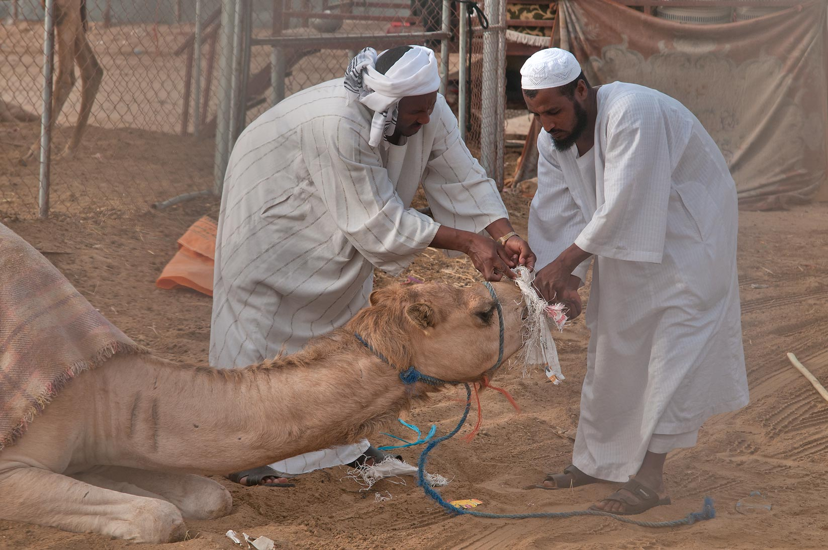 Covering the animal's mouth with a muzzle to keep...biting in Camel Market. Doha, Qatar