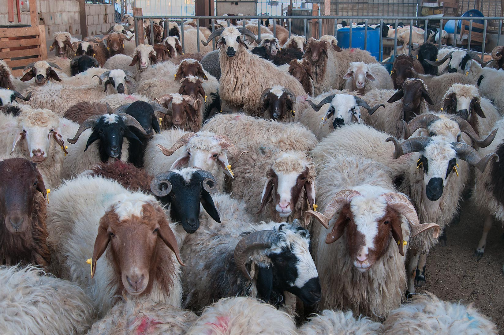 Herd of goats in Wholesale Animal Market. Doha, Qatar