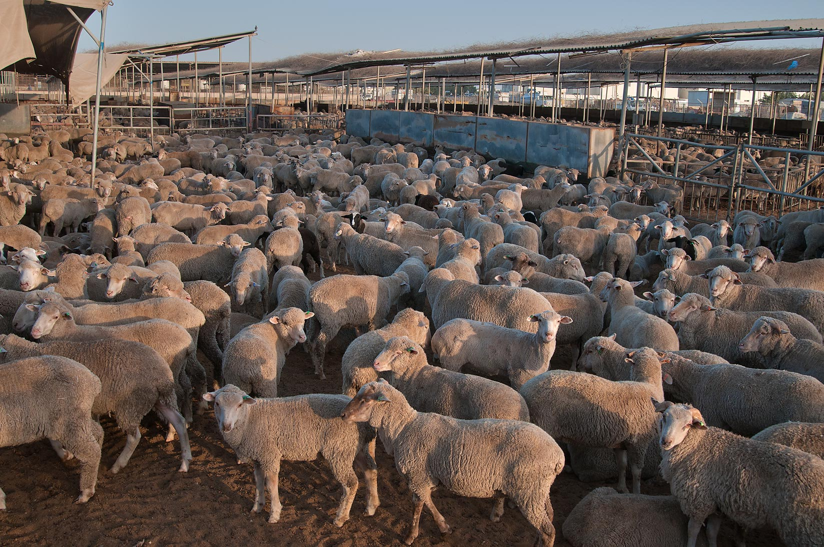 Herd of Australian sheep in a feedlot of...Mawashi Slaughterhouse. Doha, Qatar