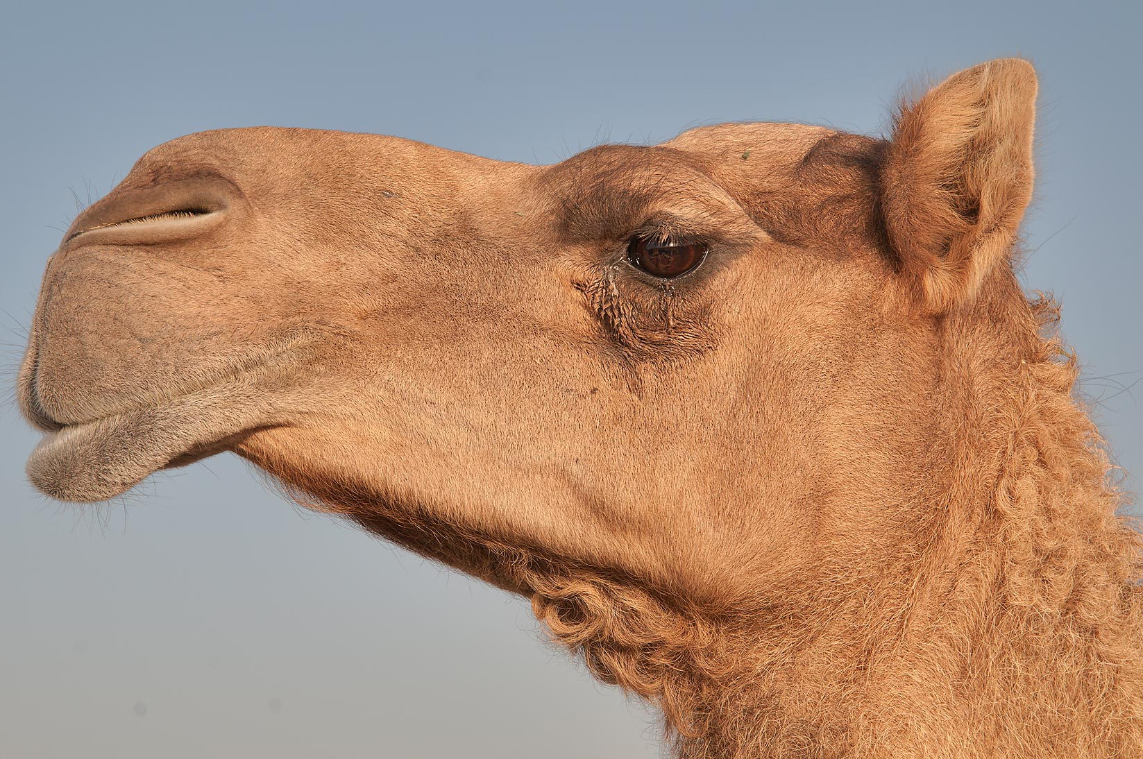 Close up of a camel's head in Wholesale Animal Market. Doha, Qatar