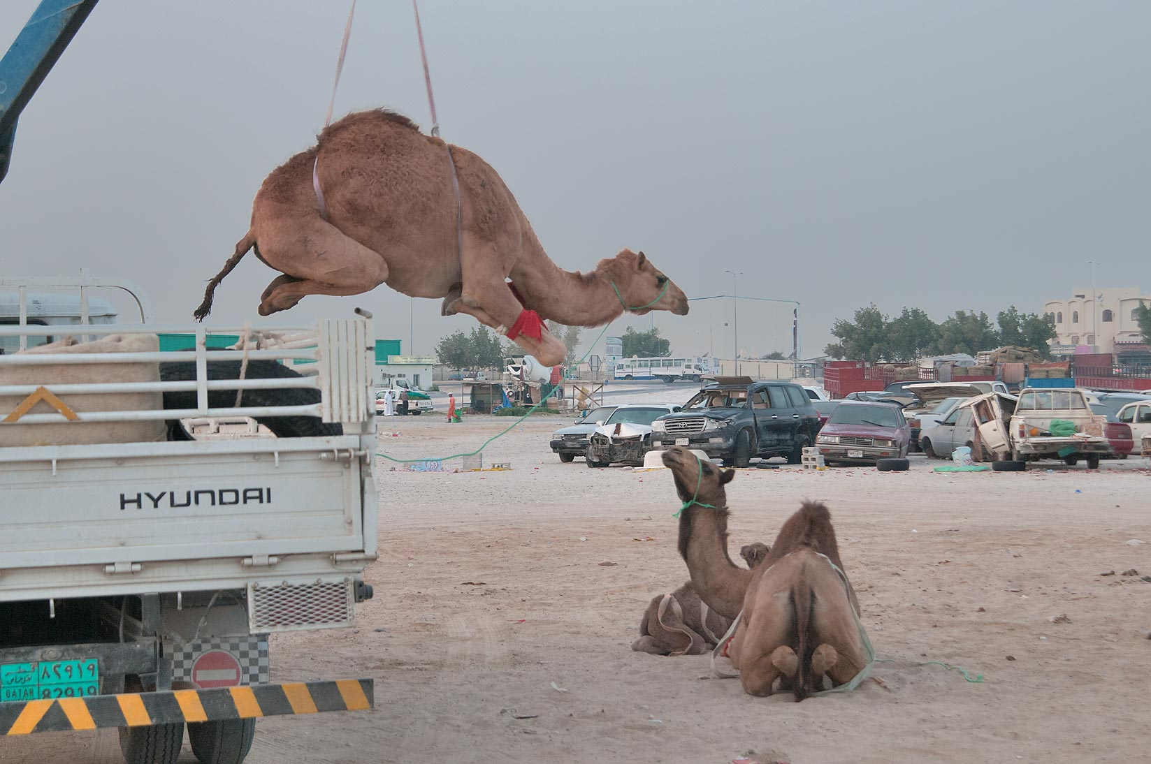 Camel moved by a crane meets other camel on the...Wholesale Animal Market. Doha, Qatar