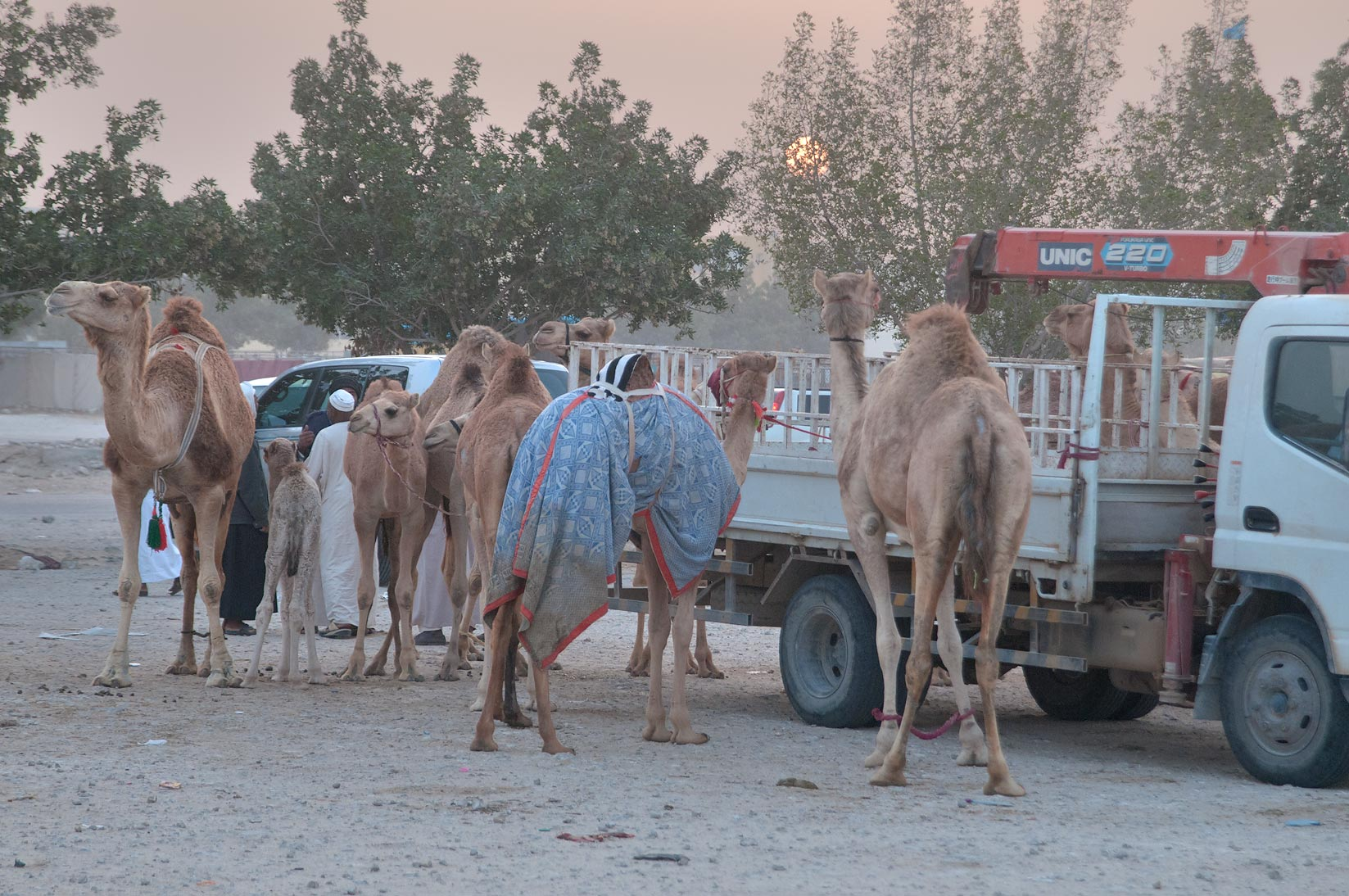 Camels tied to a truck in Wholesale Animal Market. Doha, Qatar