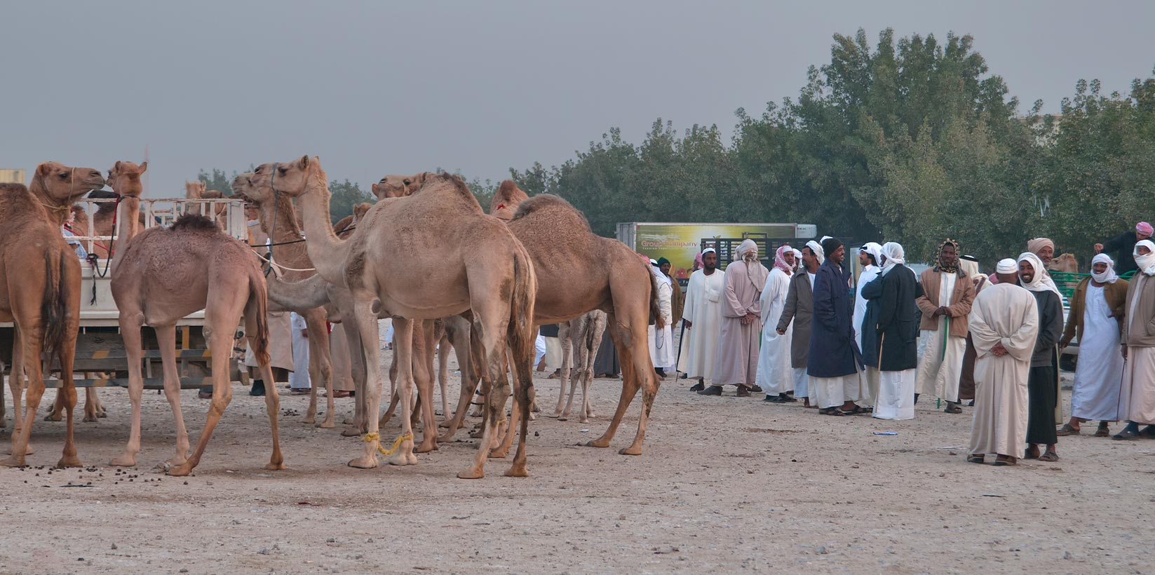 Gathering in Camel Market (Souq), section for racing. Doha, Qatar