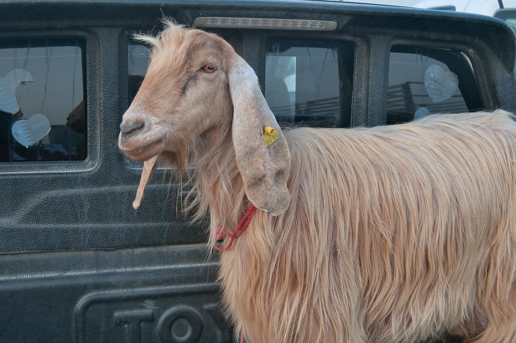 Brown goat in a truck in Wholesale Animal Market. Doha, Qatar