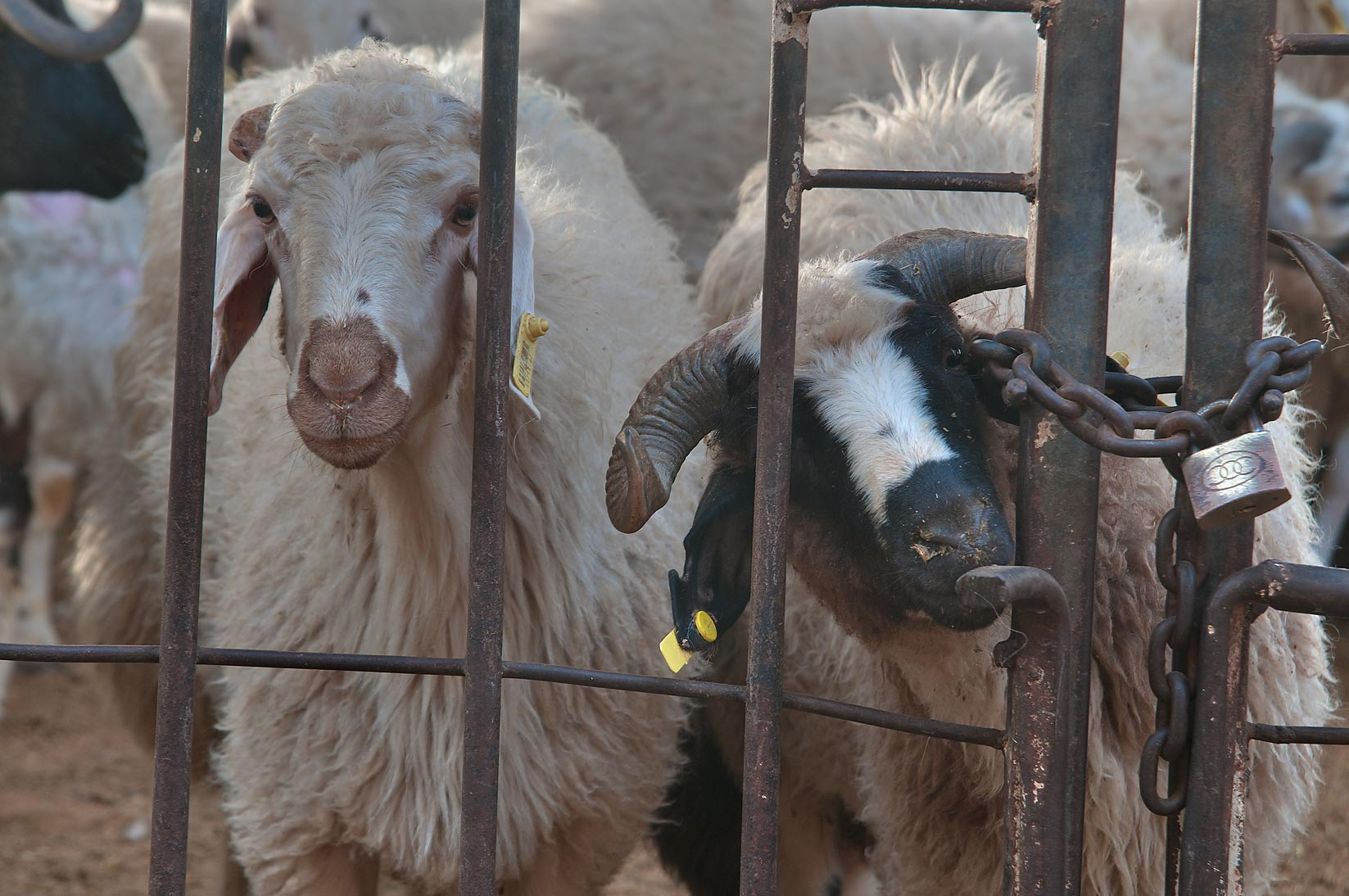 Goats locked in a pen in Wholesale Animal Market. Doha, Qatar