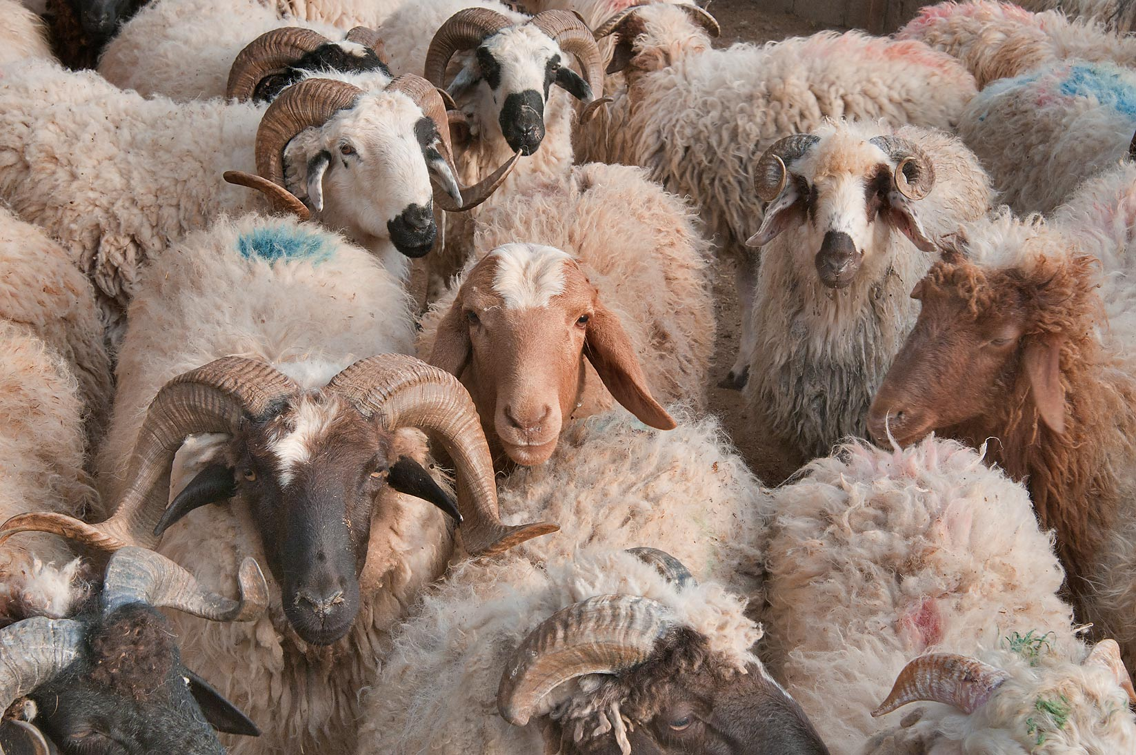 Group of rams in a pen in Wholesale Animal Market. Doha, Qatar