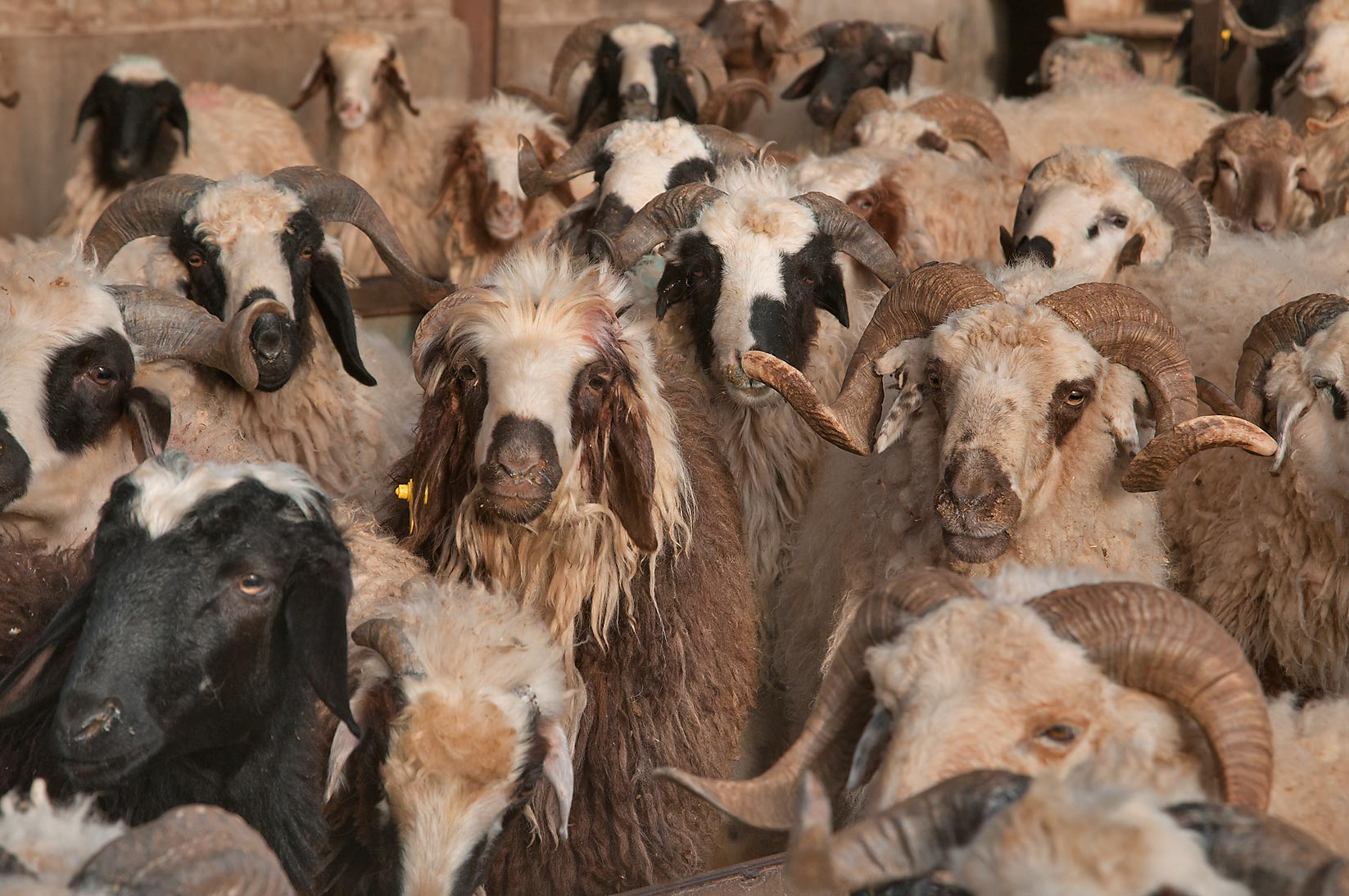 Herd of rams in a pen in Wholesale Animal Market. Doha, Qatar