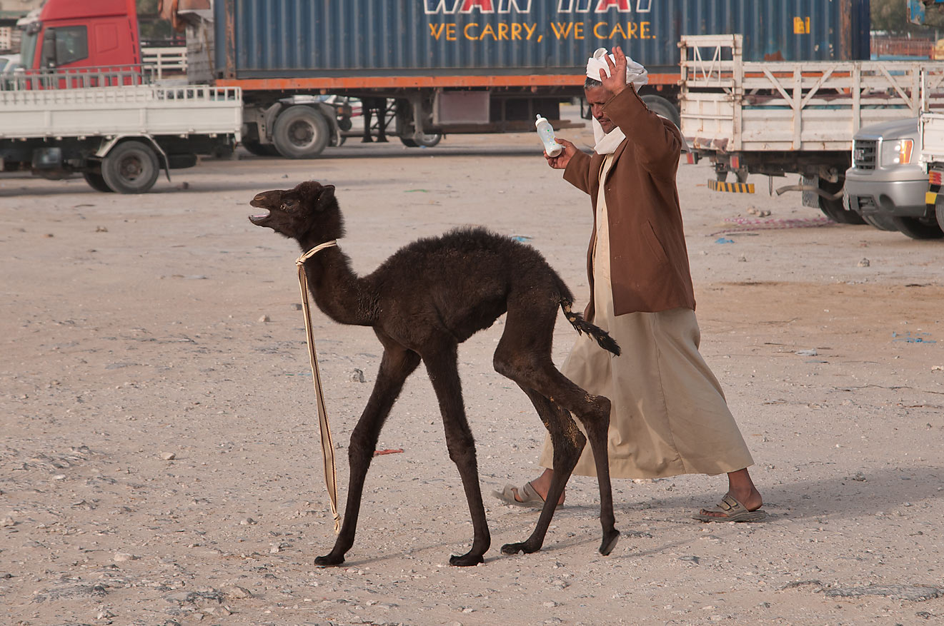 A person jumping on and pushing black camel calf in Wholesale Animal Market. Doha, Qatar