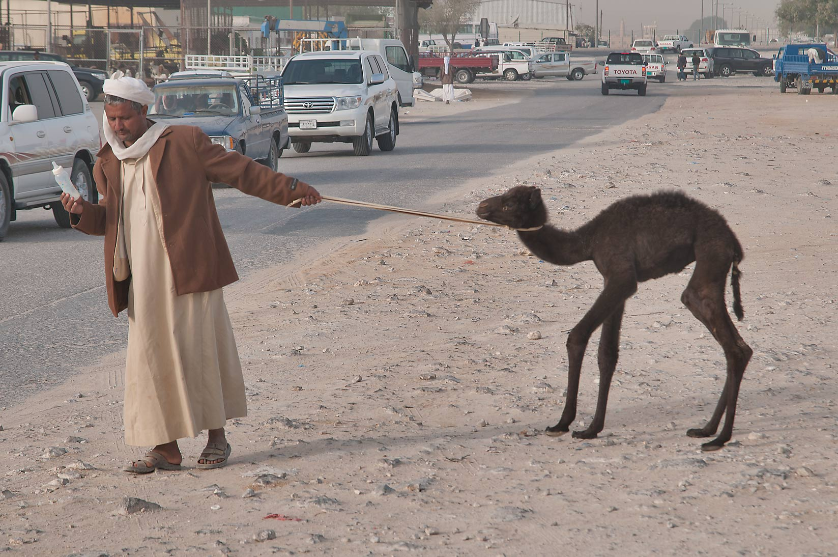 A person pulling black camel calf across a road in Wholesale Animal Market. Doha, Qatar