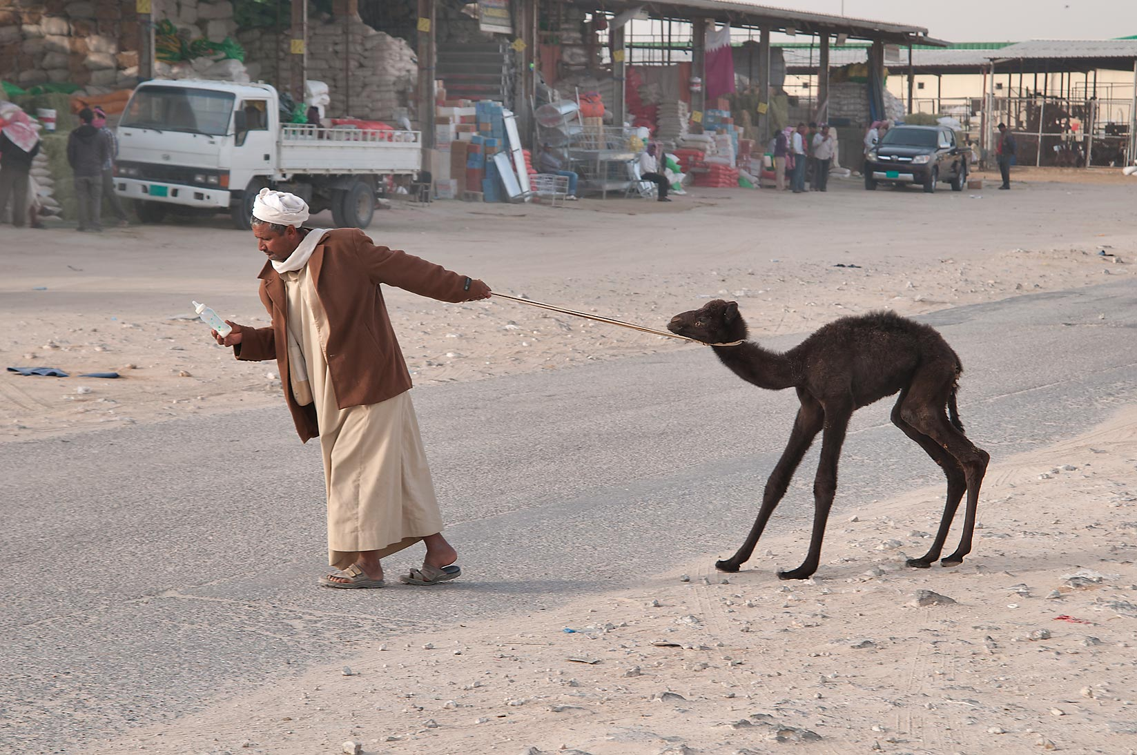 A person pulling a stubborn camel calf in Wholesale Animal Market. Doha, Qatar