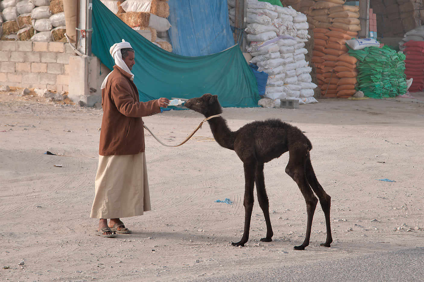 A person offering a milk bottle to a black camel...Wholesale Animal Market. Doha, Qatar