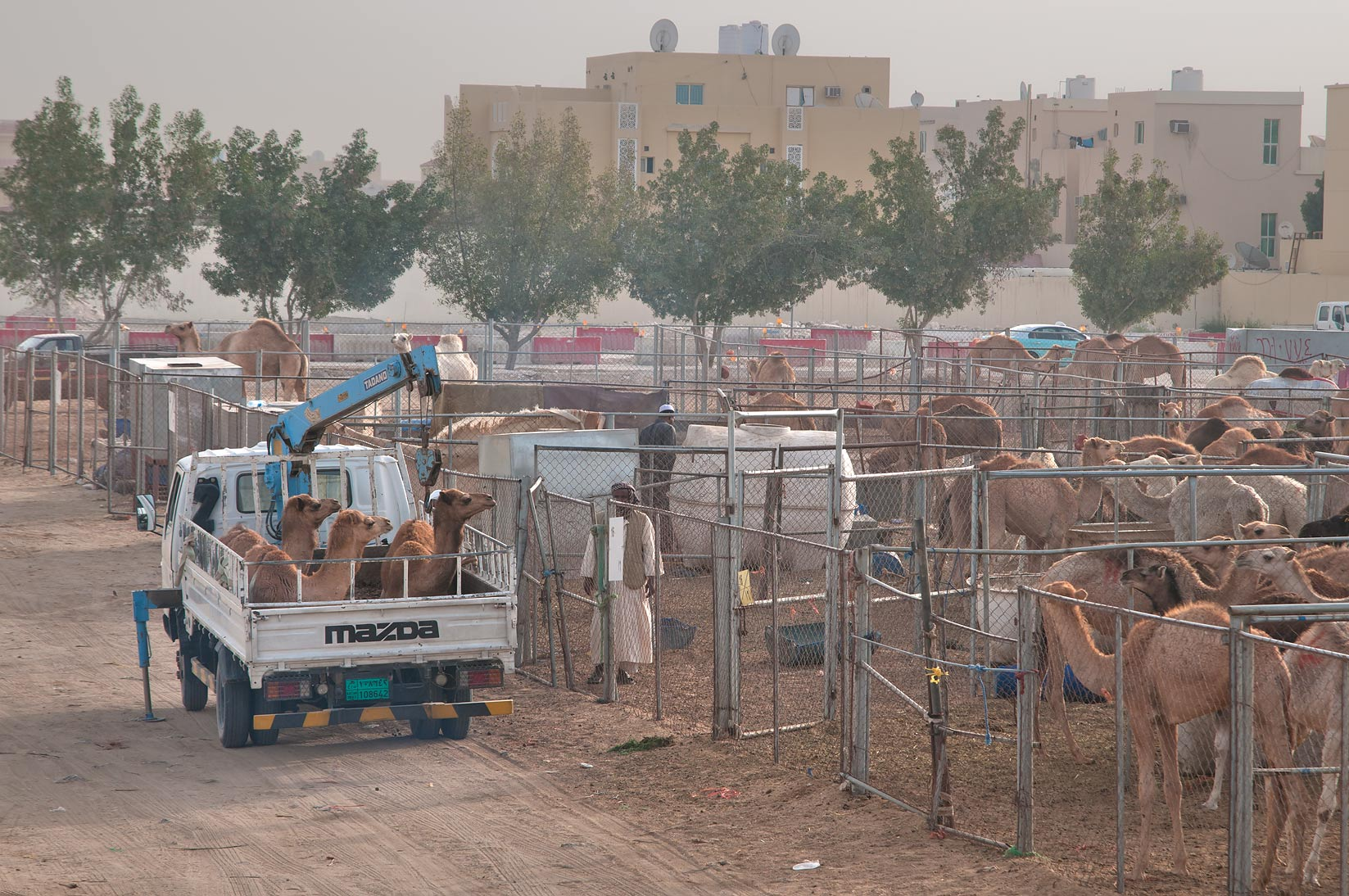 Camel Market (for food) in area of Wholesale Markets. Doha, Qatar